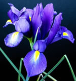 Voici un Iris