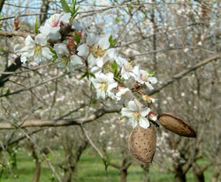 Languedoc almonds in March