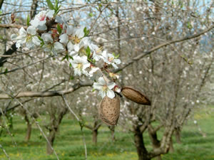 The almond orchard