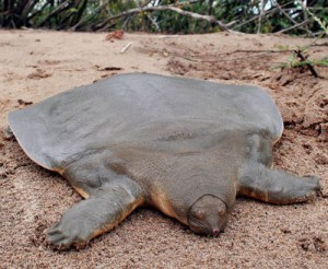 soft-shelled-turtle